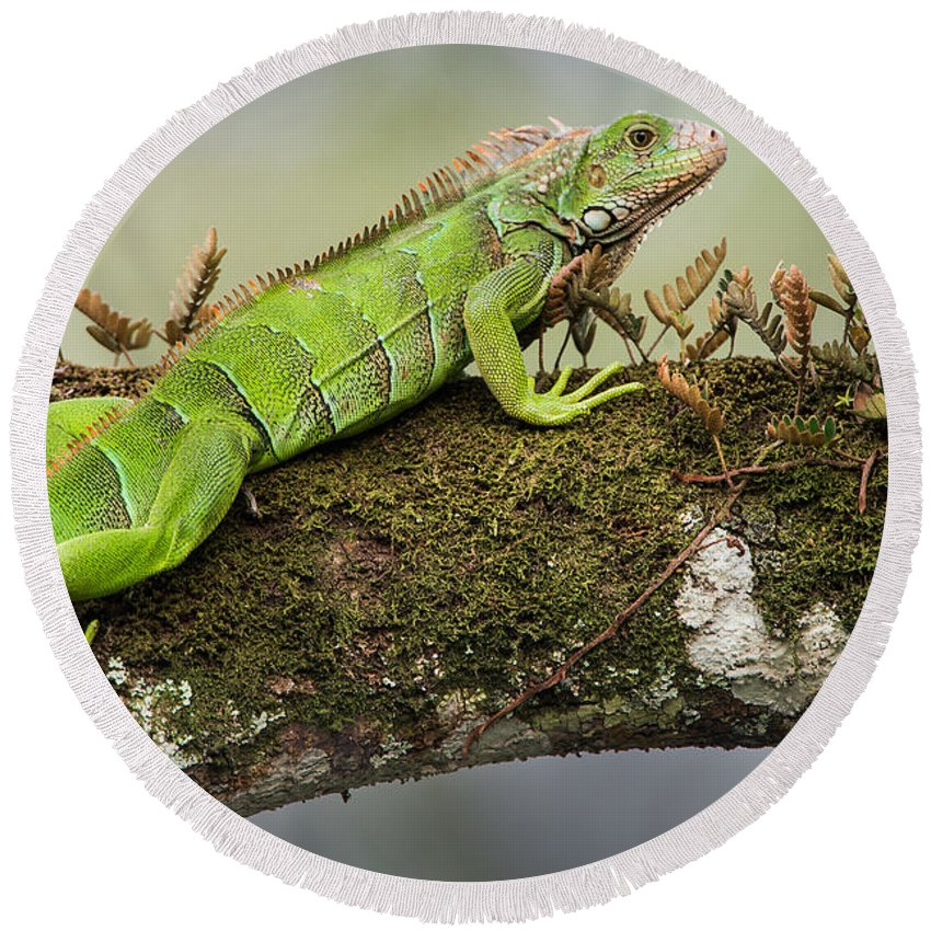 Photography Round Beach Towel featuring the photograph Green Iguana Iguana Iguana, Tarcoles by Panoramic Images