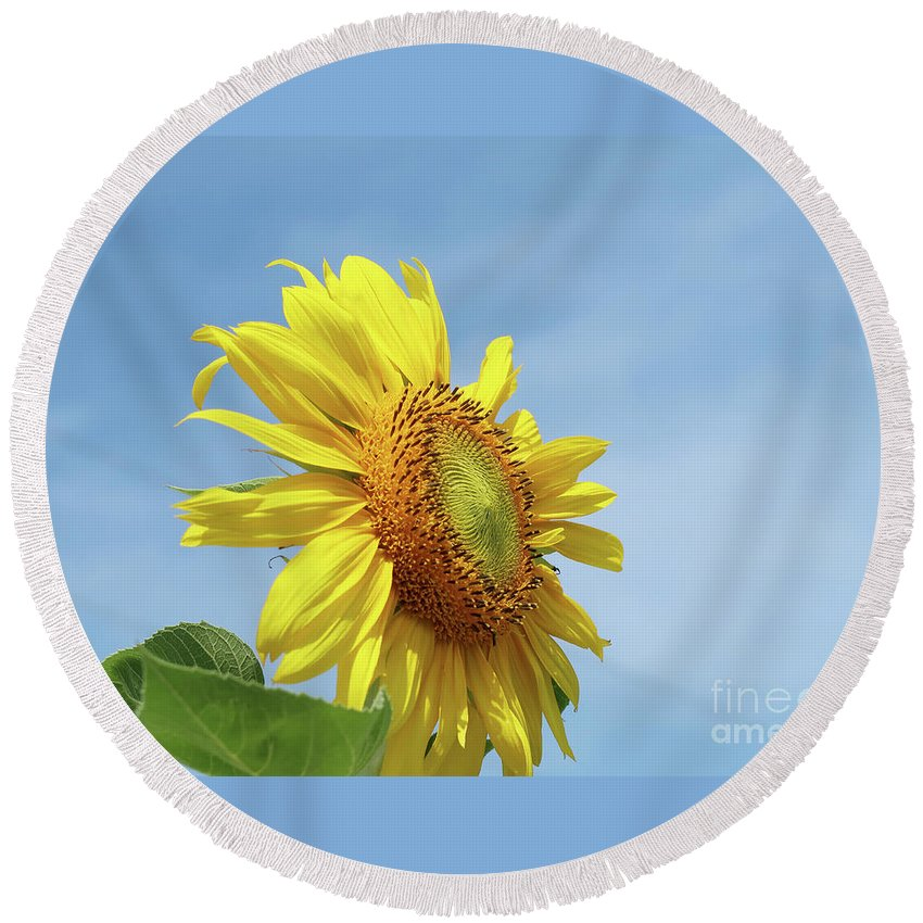 Sunflower Round Beach Towel featuring the photograph Higher And Higher by Ann Horn