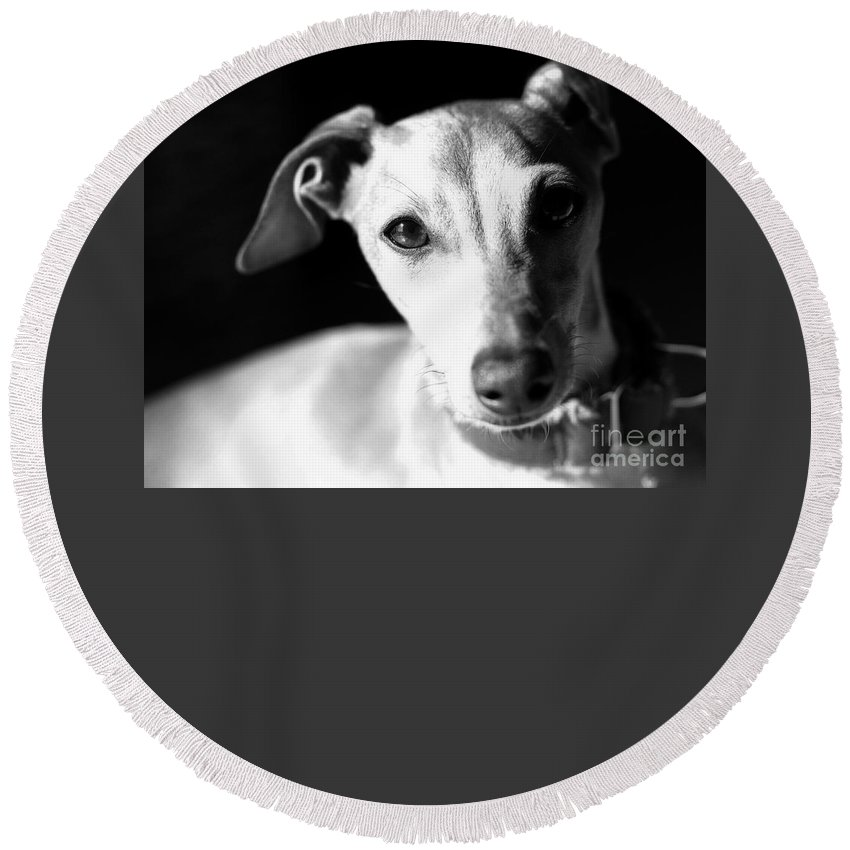 Editorial Round Beach Towel featuring the photograph Italian Greyhound Portrait In Black And White by Angela Rath