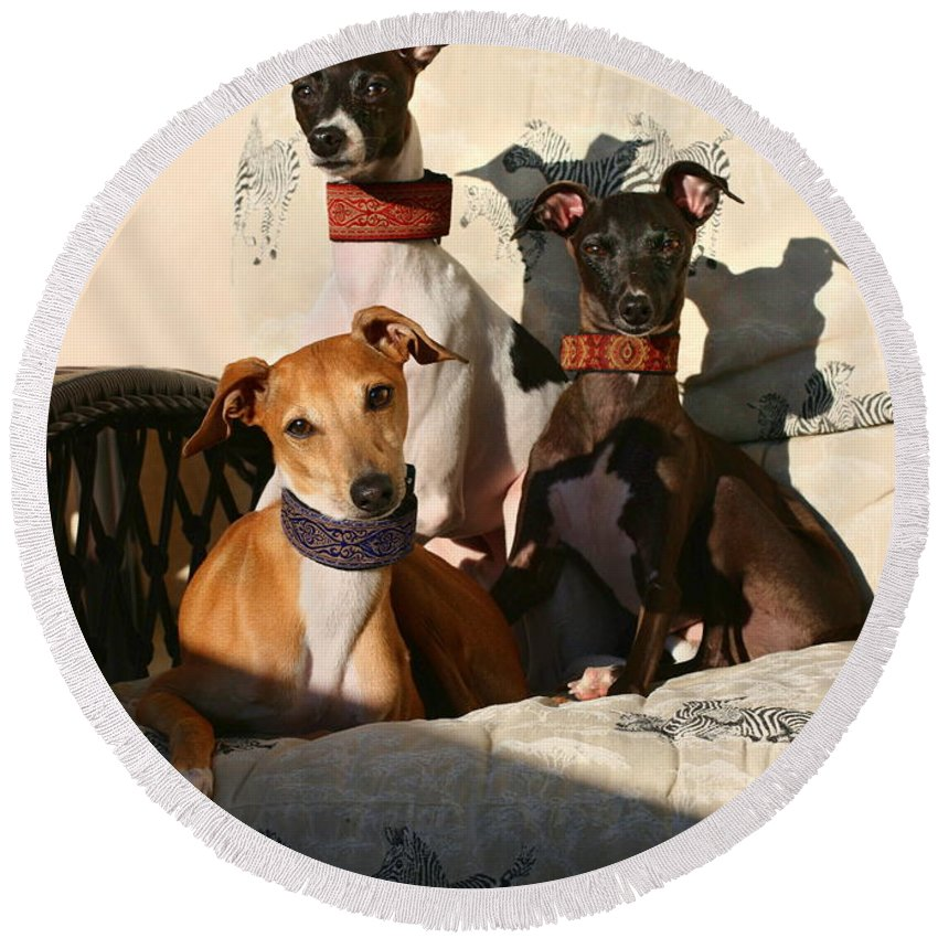 Editorial Round Beach Towel featuring the photograph Italian Greyhounds by Angela Rath