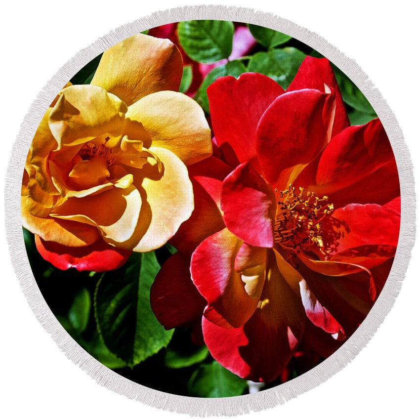 Joseph's Coat Roses At Pilgrim Place In Claremont Round Beach Towel featuring the photograph Joseph's Coat Roses At Pilgrim Place In Claremont-california by Ruth Hager