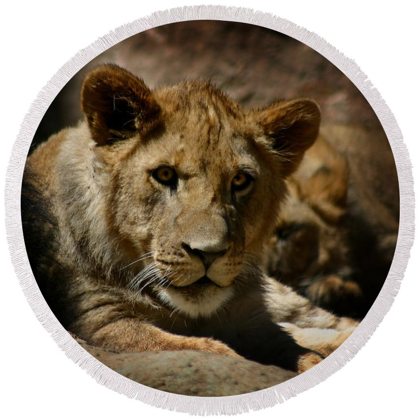 Lion Round Beach Towel featuring the photograph Lion Cub by Anthony Jones