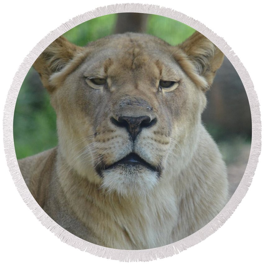 Lioness Round Beach Towel featuring the photograph Lioness by Maria Urso