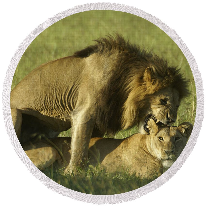 Africa Round Beach Towel featuring the photograph Love Bite by Michele Burgess