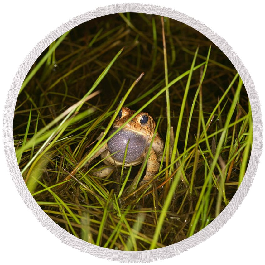 Amphibian Round Beach Towel featuring the photograph Male Toad by Ted Kinsman