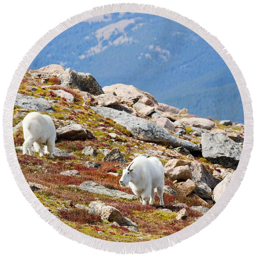 Goat Round Beach Towel featuring the photograph Mountain Goats On Mount Bierstadt In The Arapahoe National Forest by Steve Krull
