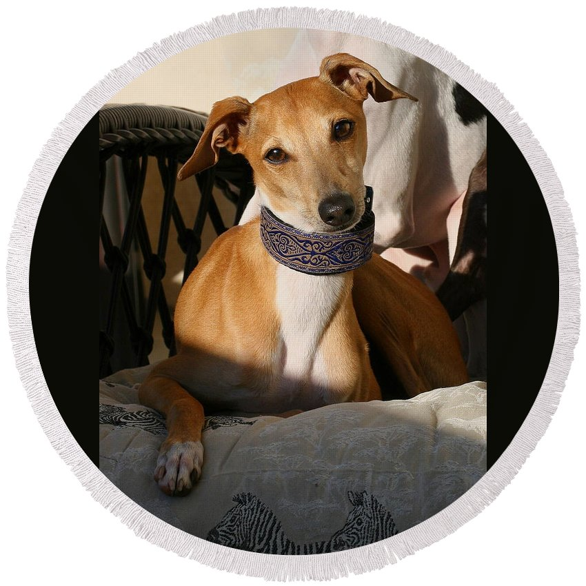 Editorial Round Beach Towel featuring the photograph Portrait Of An Italian Greyhound by Angela Rath