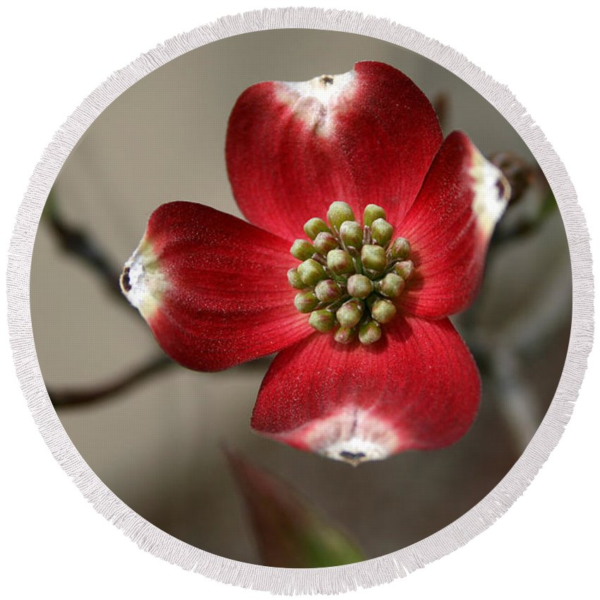 Flower Round Beach Towel featuring the photograph Red Dogwood by Andrei Shliakhau