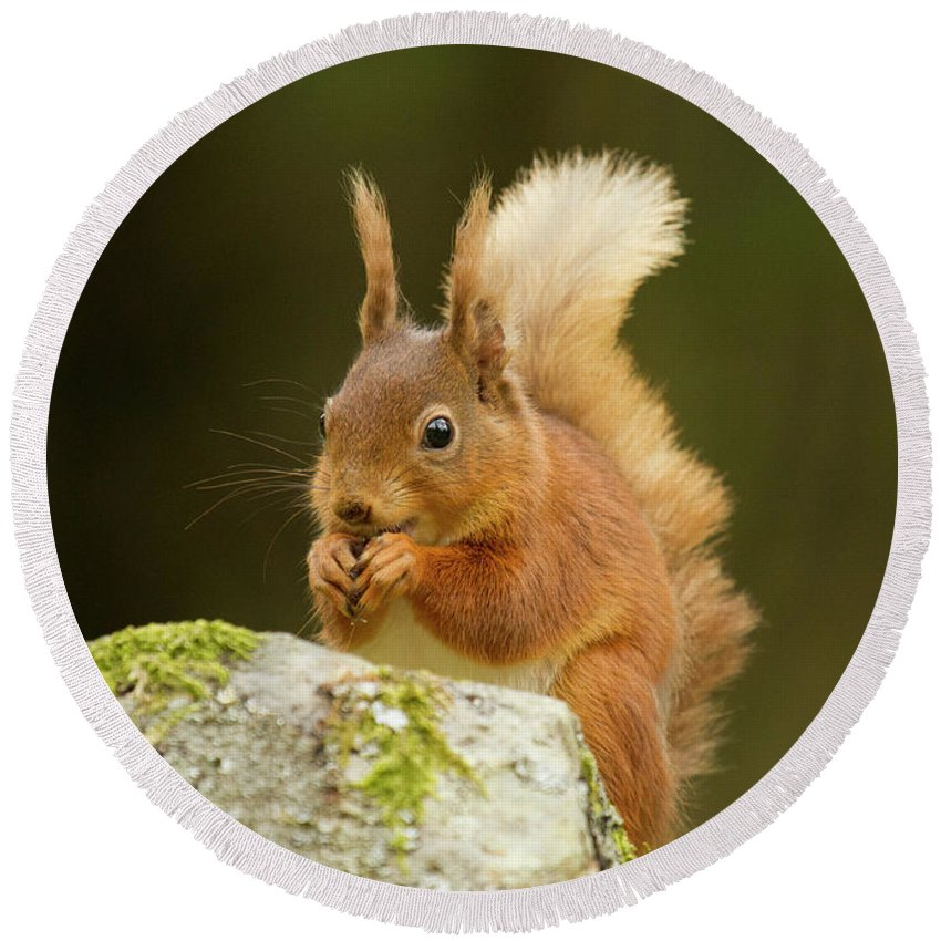 Wildlife Round Beach Towel featuring the photograph Red Squirrel by Trevor Clifford