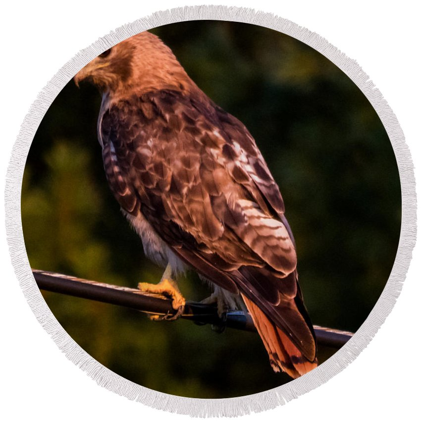 Red Tail Hawk Round Beach Towel featuring the photograph Red Tail Hawk by Ronald Raymond