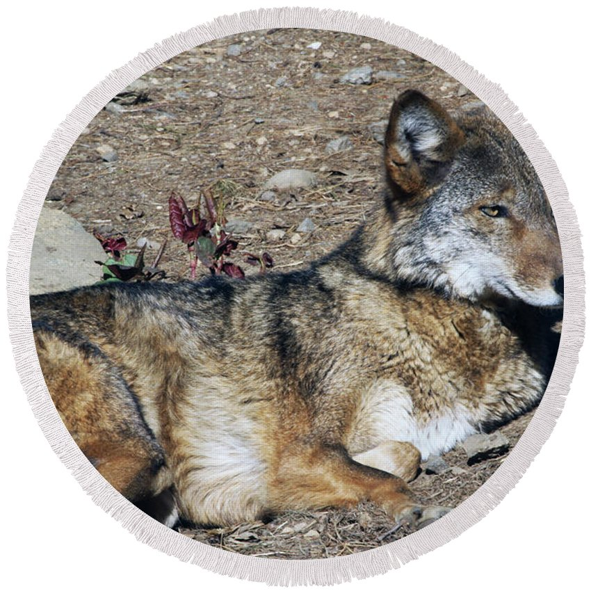 Wolf Round Beach Towel featuring the photograph Resting Wolf by Karol Livote