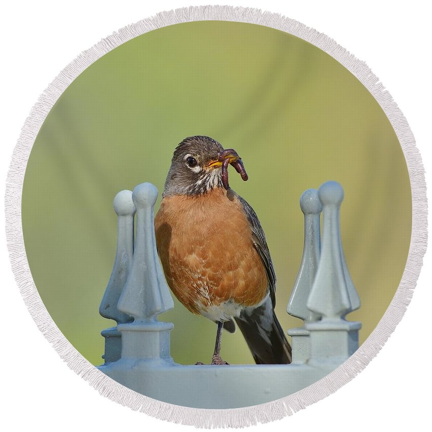 Linda Brody Round Beach Towel featuring the photograph Robin With Worm I by Linda Brody