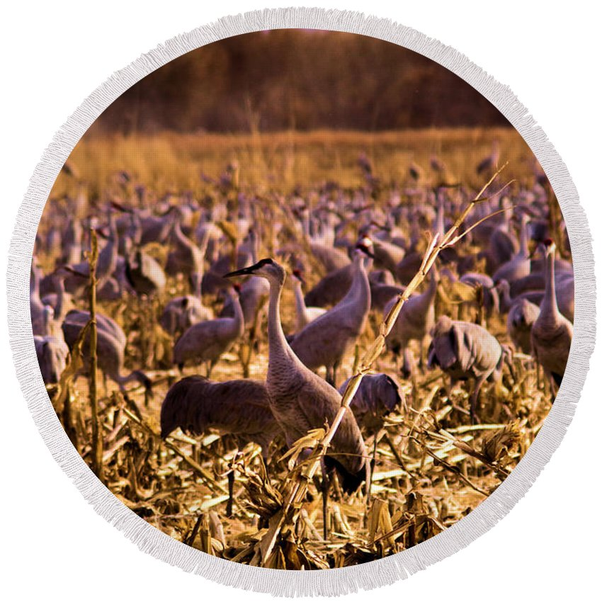 Birds Round Beach Towel featuring the photograph Sandhills In The Corn by Jeff Swan