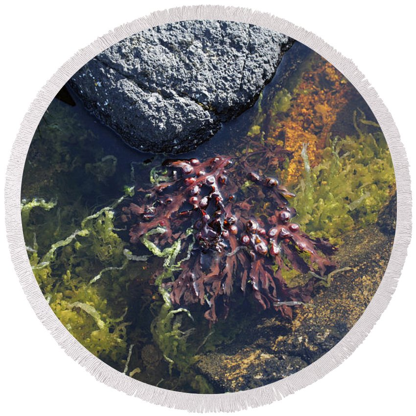 Seaweed Round Beach Towel featuring the photograph Seaweed Growing In A Rockpool On The Shore Roundstone County Galway Ireland by Michael Walters