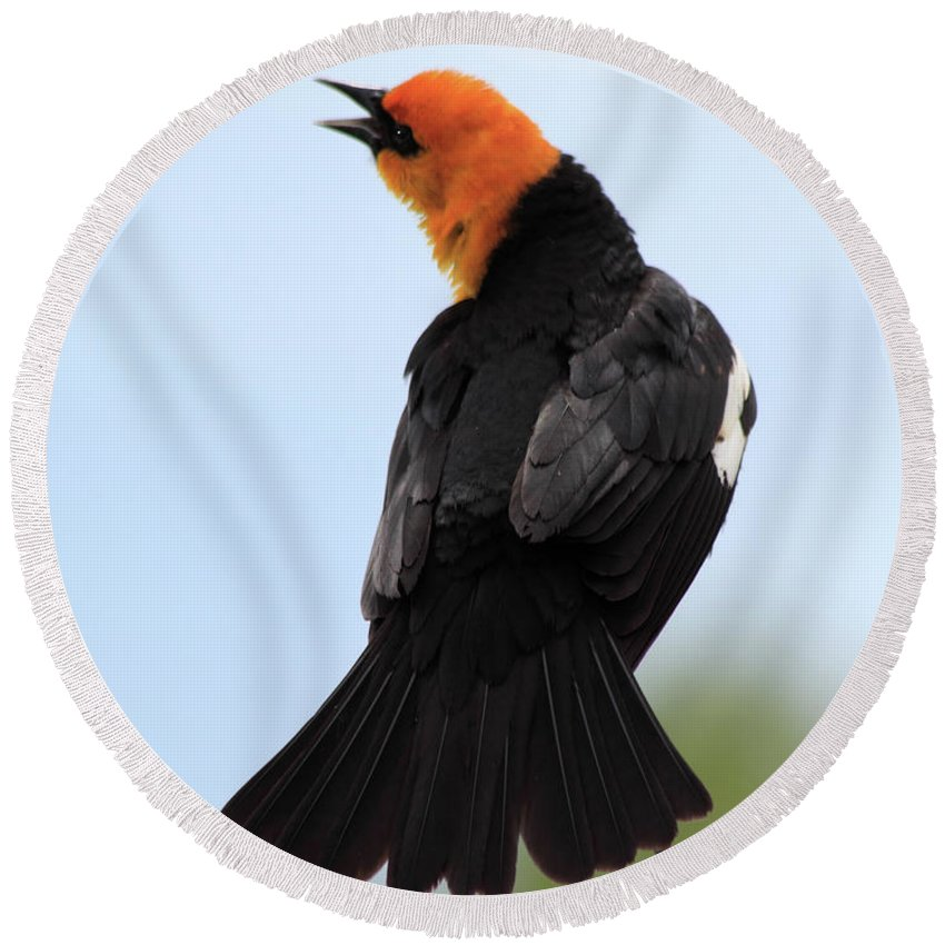 Yellow-headed Blackbird Round Beach Towel featuring the photograph Showing Off by Shane Bechler