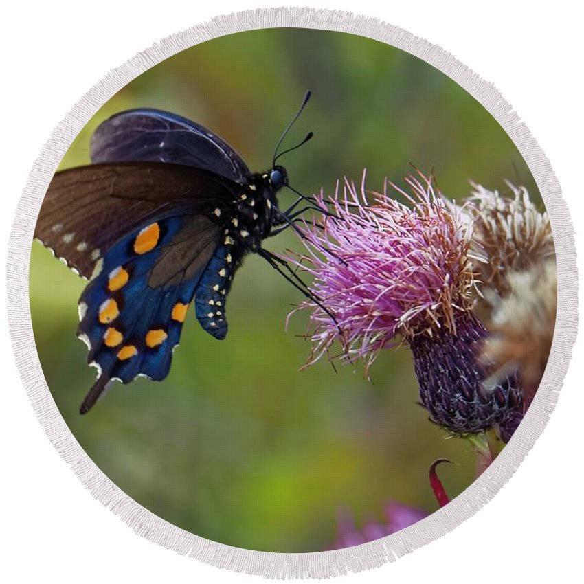 Spicebush Swallowtail Round Beach Towel featuring the photograph Spicebush Swallowtail On Bull Thistle by David Rowe