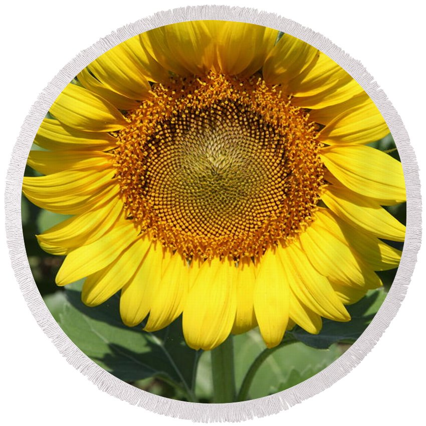 Sunflowers Round Beach Towel featuring the photograph Sunflower 09 by Amanda Barcon