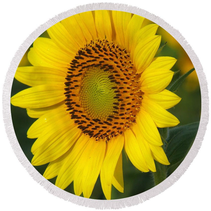 Sunflowers Round Beach Towel featuring the photograph Sunflower by Amanda Barcon