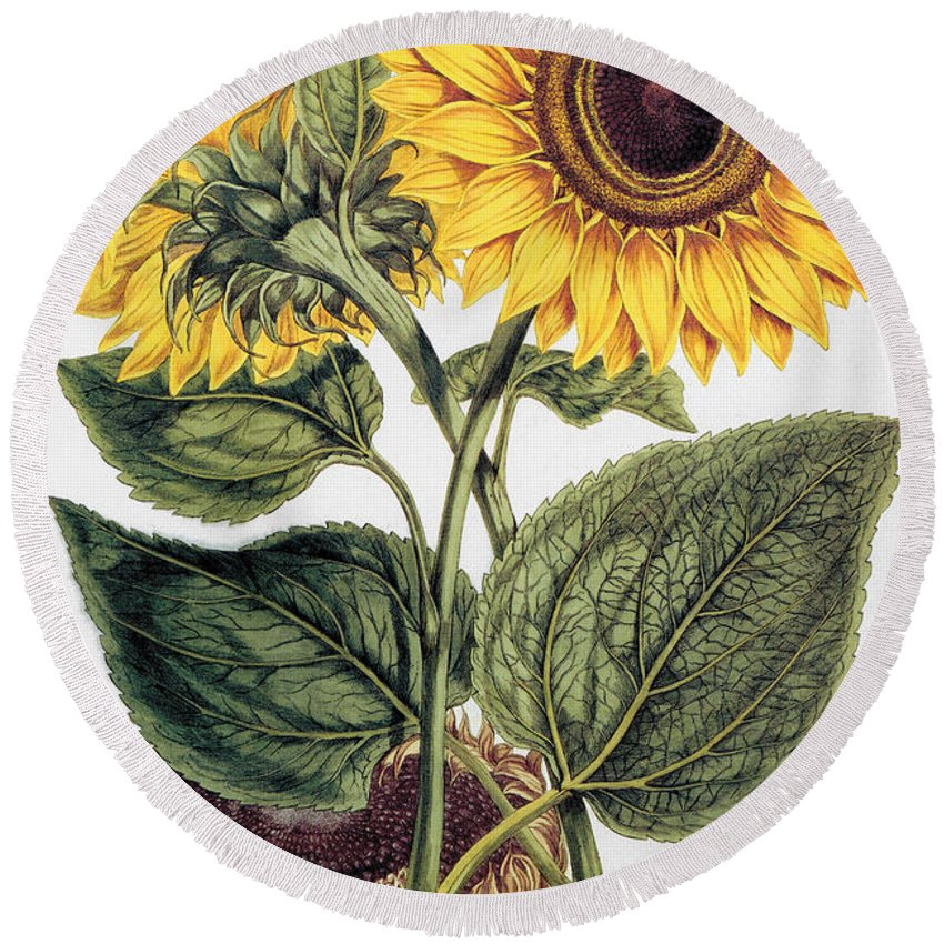 1777 Round Beach Towel featuring the photograph Sunflower by Granger
