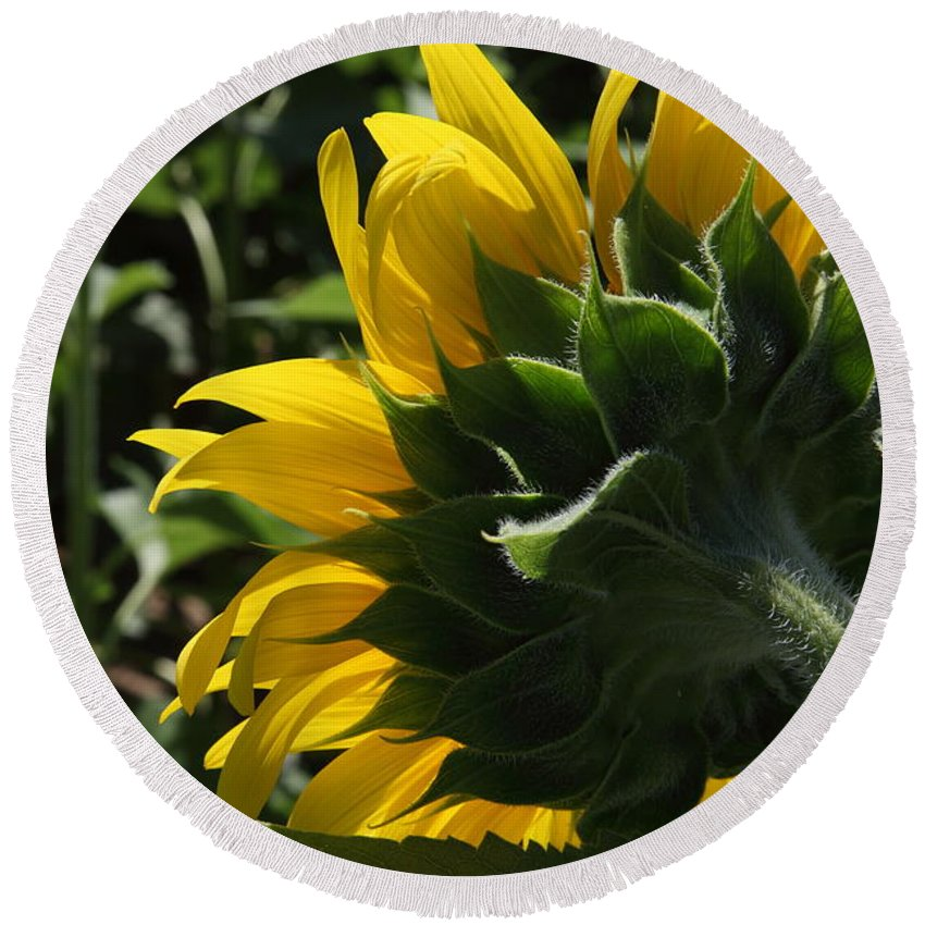 Sunflower Round Beach Towel featuring the photograph Sunflower Series 09 by Amanda Barcon