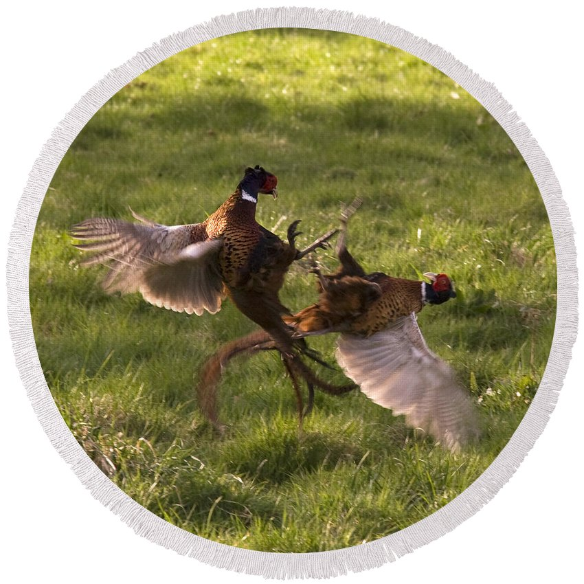 Pheasant Round Beach Towel featuring the photograph The Sparring by Angel Ciesniarska