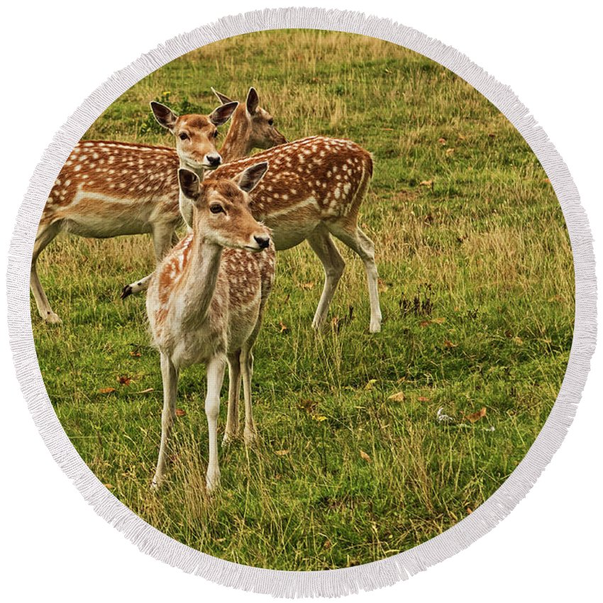 Fallow Deer Round Beach Towel featuring the photograph Three Fallow Deer by Kevin Richardson