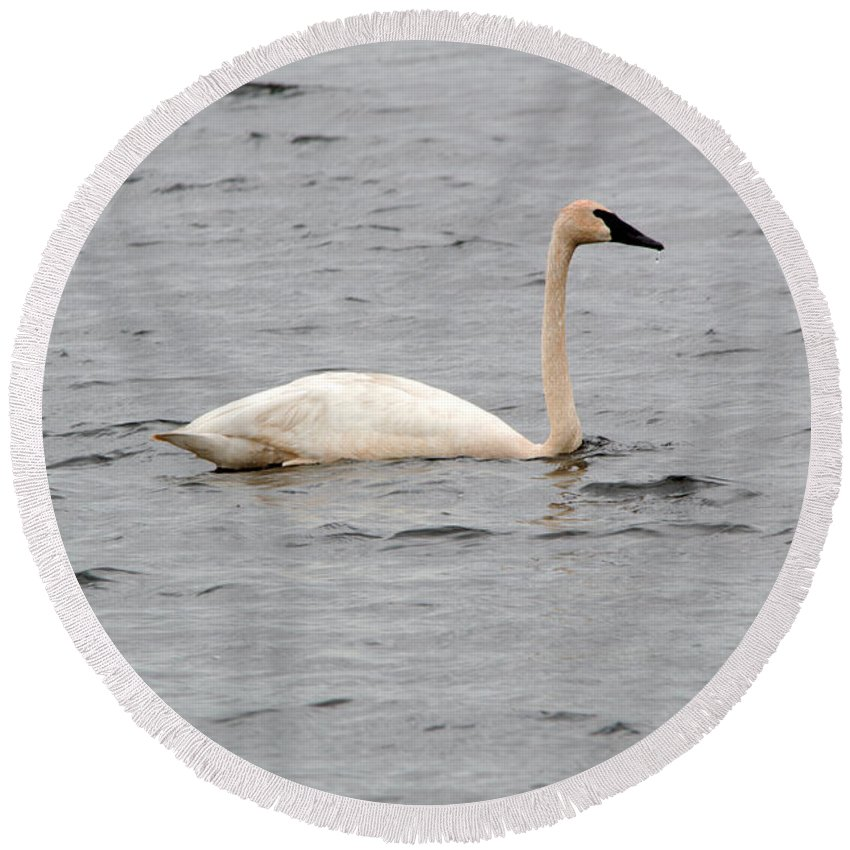 Seney National Wildlife Refuge Round Beach Towel featuring the photograph Trumpeter by Linda Kerkau