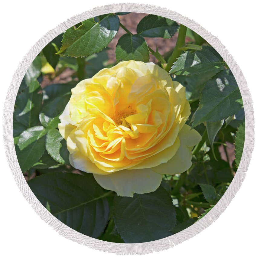 Rose Round Beach Towel featuring the photograph Yellow Rose by LaMont Johnson