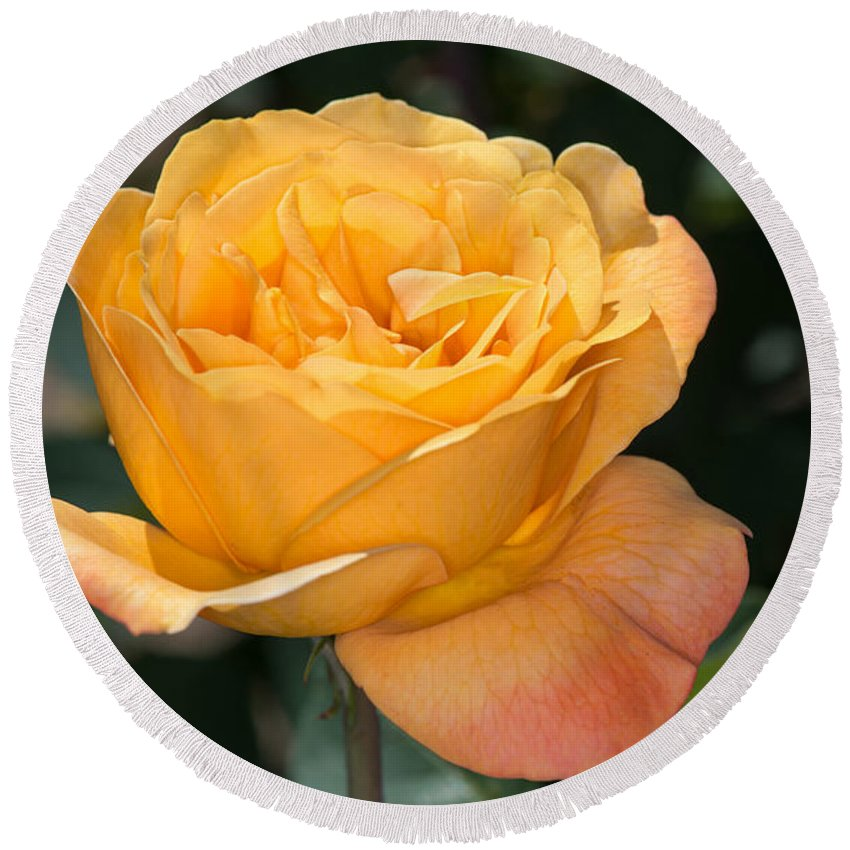 Rose Round Beach Towel featuring the photograph Yellow Rose by Michael Moriarty