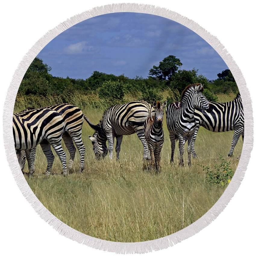 Zimbabwe Round Beach Towel featuring the photograph Zebra Group by Tony Murtagh