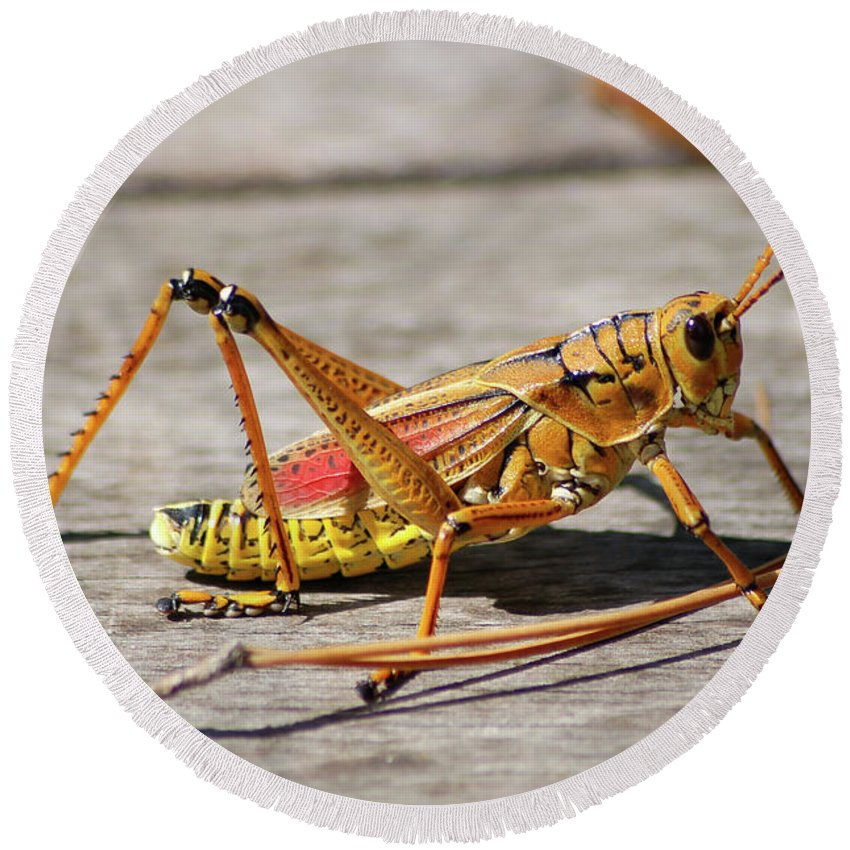 Lubber Grasshopper Round Beach Towel featuring the photograph 10- Lubber Grasshopper by Joseph Keane