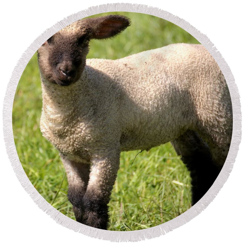 Ewe Round Beach Towel featuring the photograph Spring Lamb by FL collection