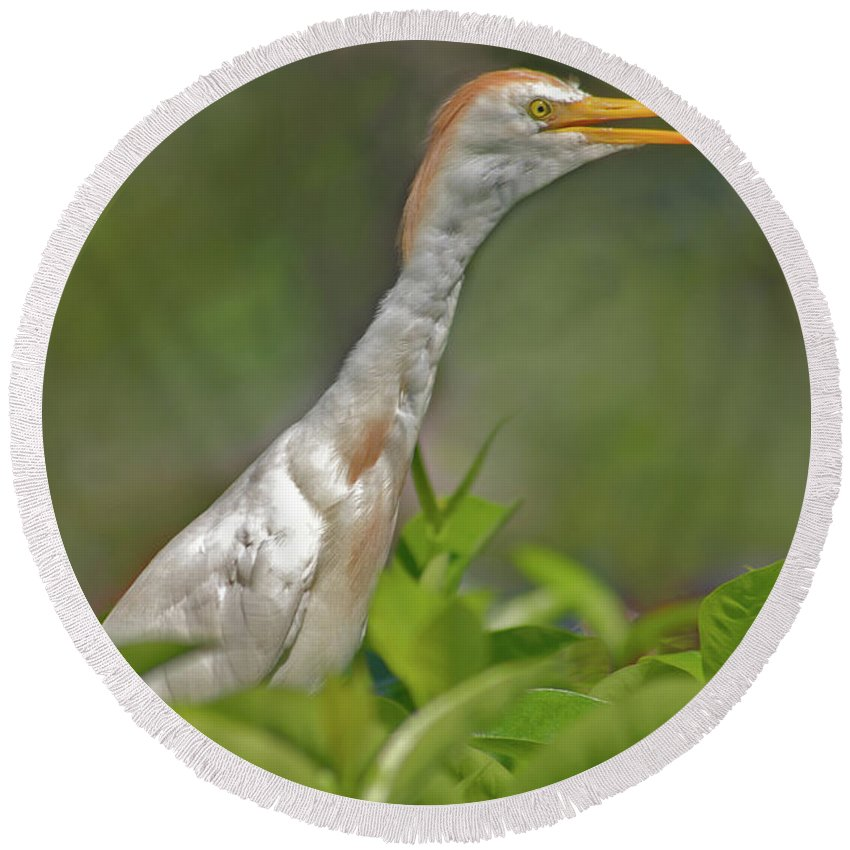 Cattle Egret Round Beach Towel featuring the photograph 11- Cattle Egret by Joseph Keane