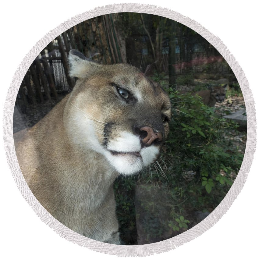 Animals. Round Beach Towel featuring the photograph 1153 - Mountain Lion by David Lange