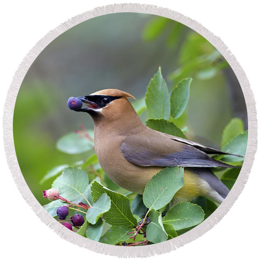 Cedar Waxwing Round Beach Towel featuring the photograph Cedar Waxwing by Arterra Picture Library