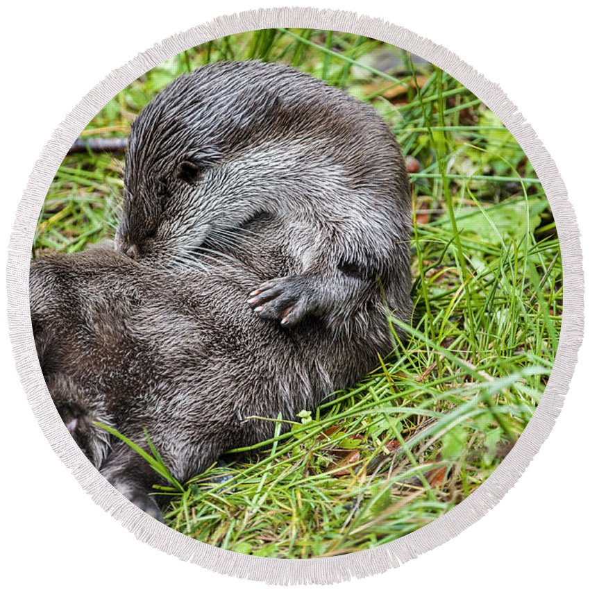 European River Otter Round Beach Towel featuring the photograph European River Otter by Arterra Picture Library