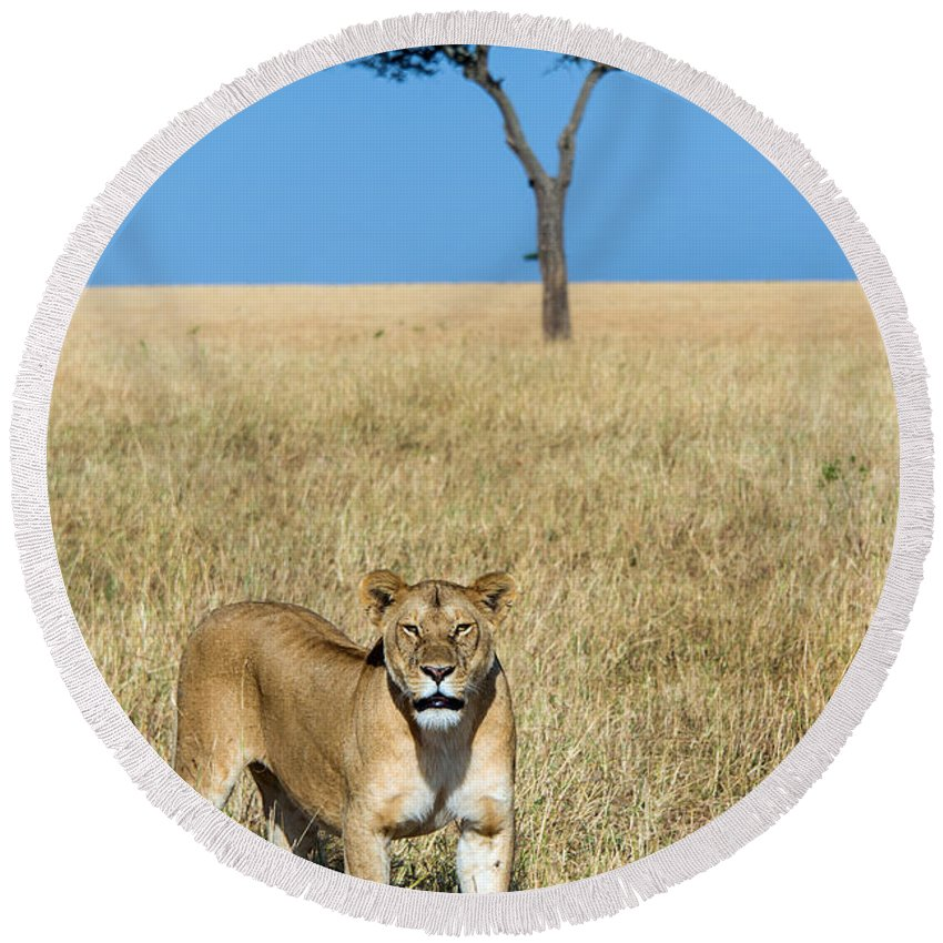 Photography Round Beach Towel featuring the photograph African Lioness Panthera Leo, Serengeti by Panoramic Images
