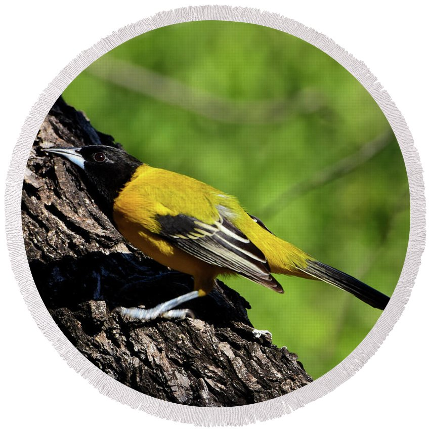 Audubon Round Beach Towel featuring the photograph Audubon Oriole by Dwight Eddington