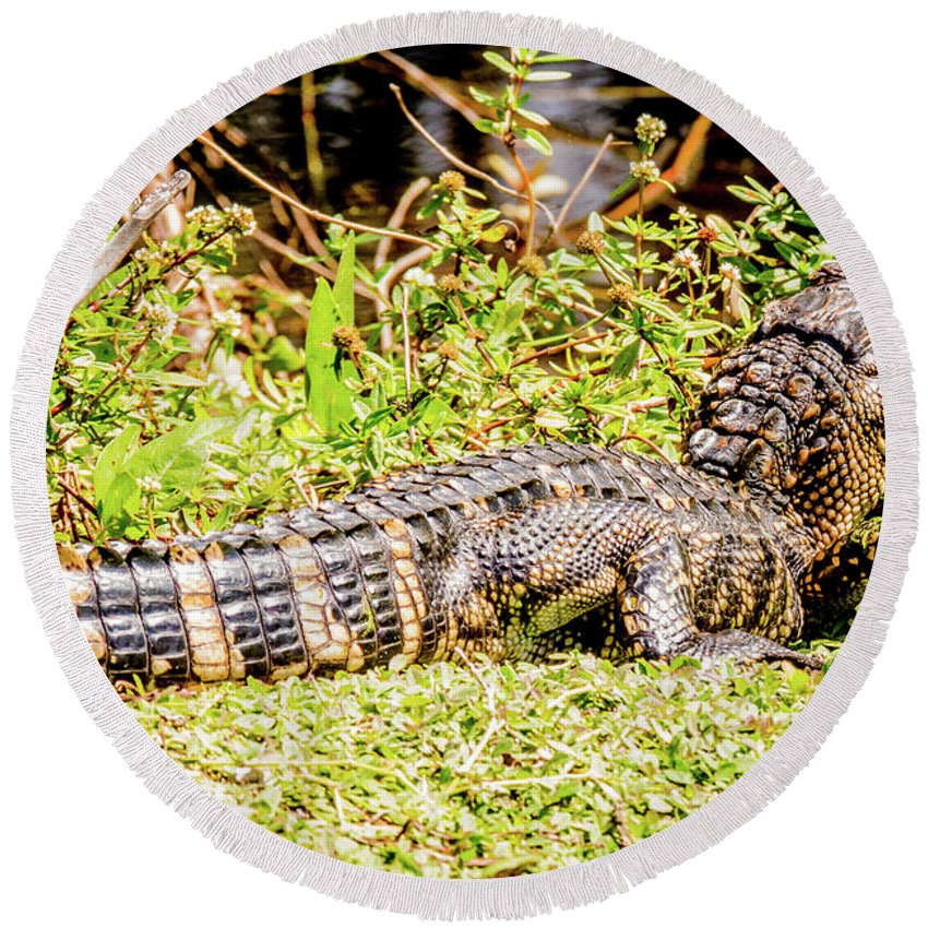 Reptile Round Beach Towel featuring the photograph Baby Alligator by Gregory Gendusa