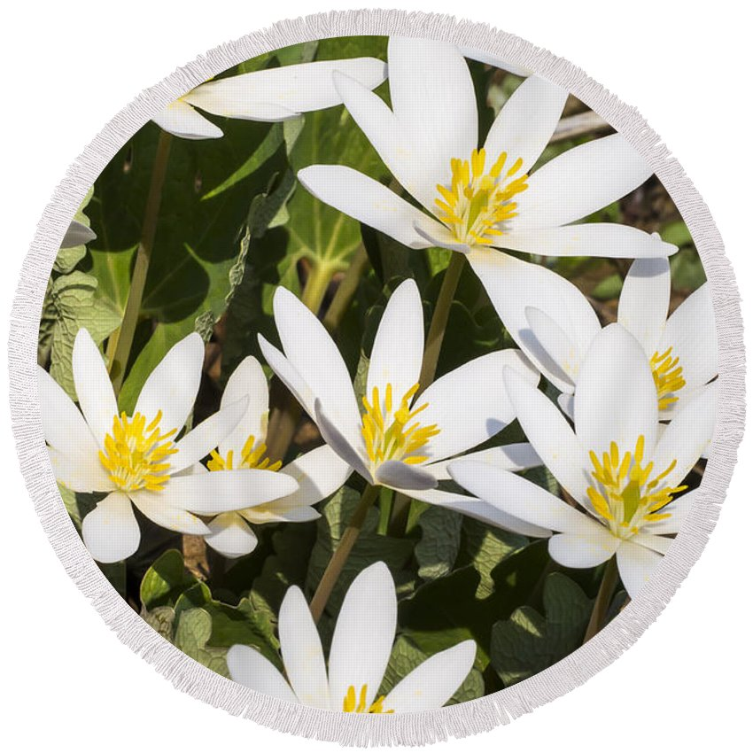 Flowers Round Beach Towel featuring the photograph Bloodroot Flowers 2 by Steven Ralser