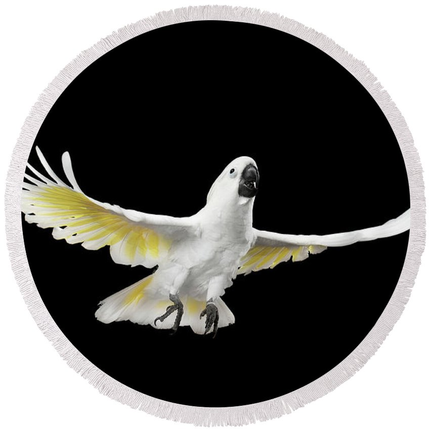 Cockatoo Round Beach Towel featuring the photograph Flying Crested Cockatoo alba, Umbrella, Indonesia, isolated on Black Background by Sergey Taran