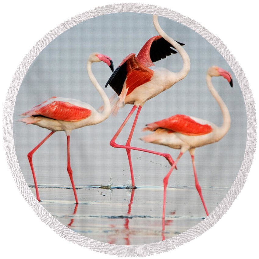 Photography Round Beach Towel featuring the photograph Greater Flamingos Phoenicopterus Roseus by Panoramic Images