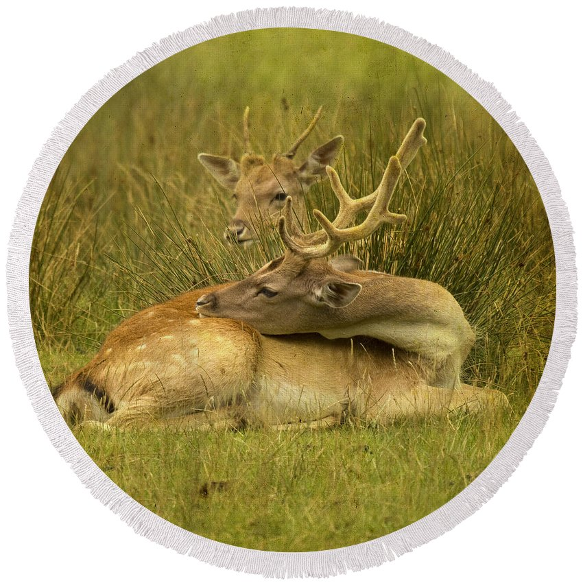 Fallow Deer Round Beach Towel featuring the photograph Having A Rest by Angel Ciesniarska