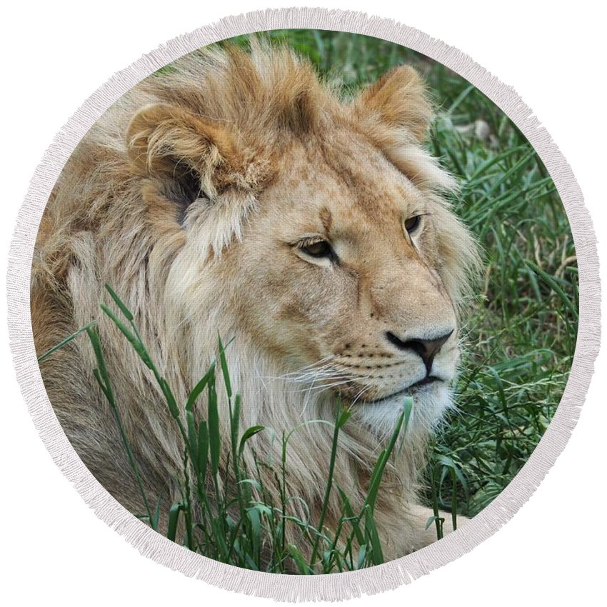 Lion Round Beach Towel featuring the photograph Lion by FL collection