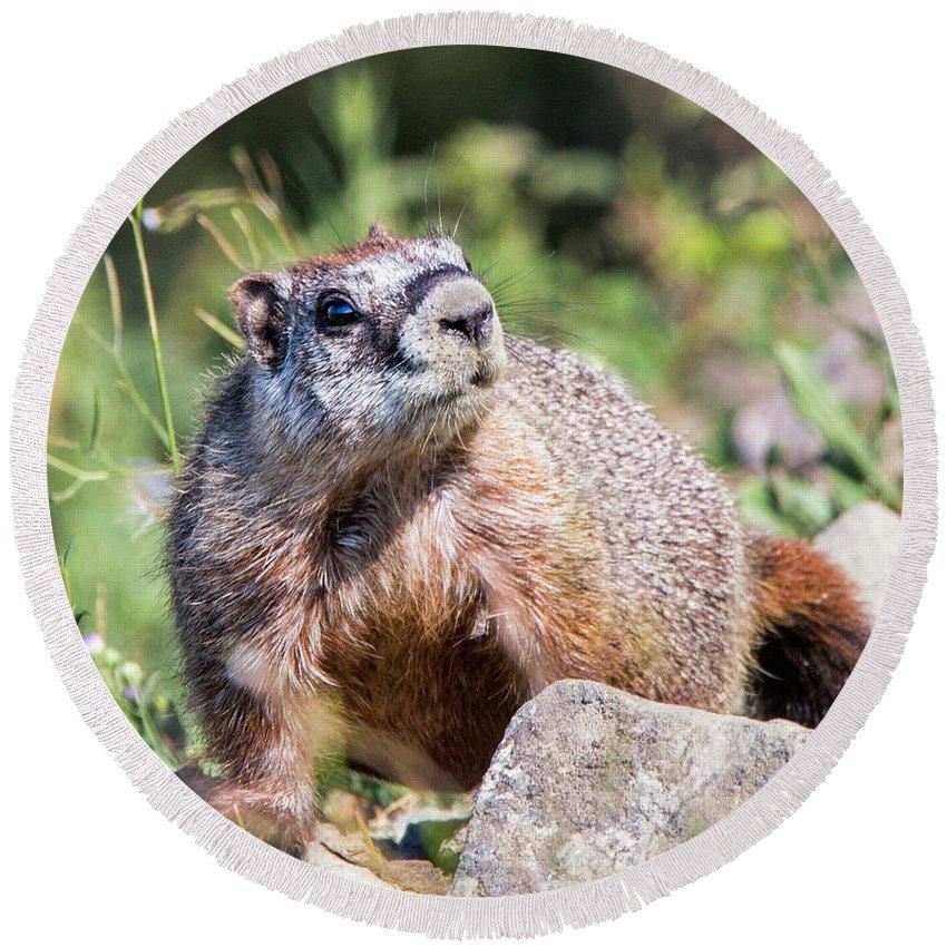 Marmots Round Beach Towel featuring the photograph Mr. Marmot by Carolyn Fox
