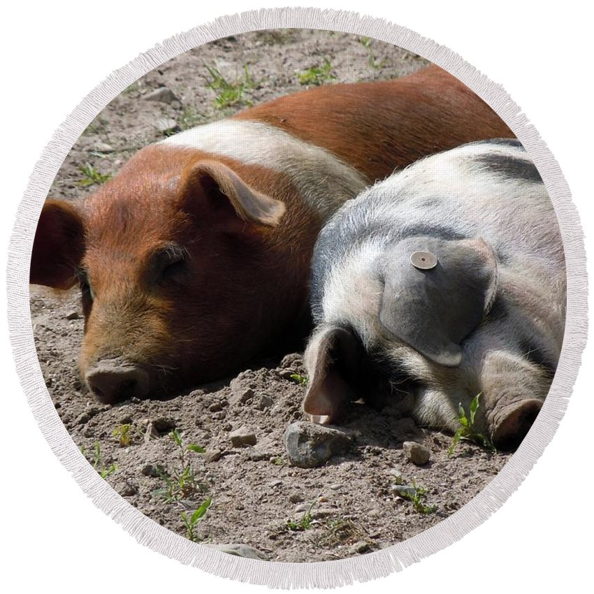 Pigs Round Beach Towel featuring the photograph Pigs by FL collection