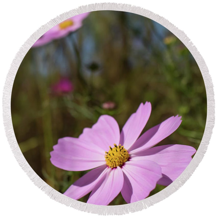 Asia Round Beach Towel featuring the photograph Sensation Cosmos Bipinnatus Fully Bloomed Pink Cosmos At Garde by Eiko Tsuchiya