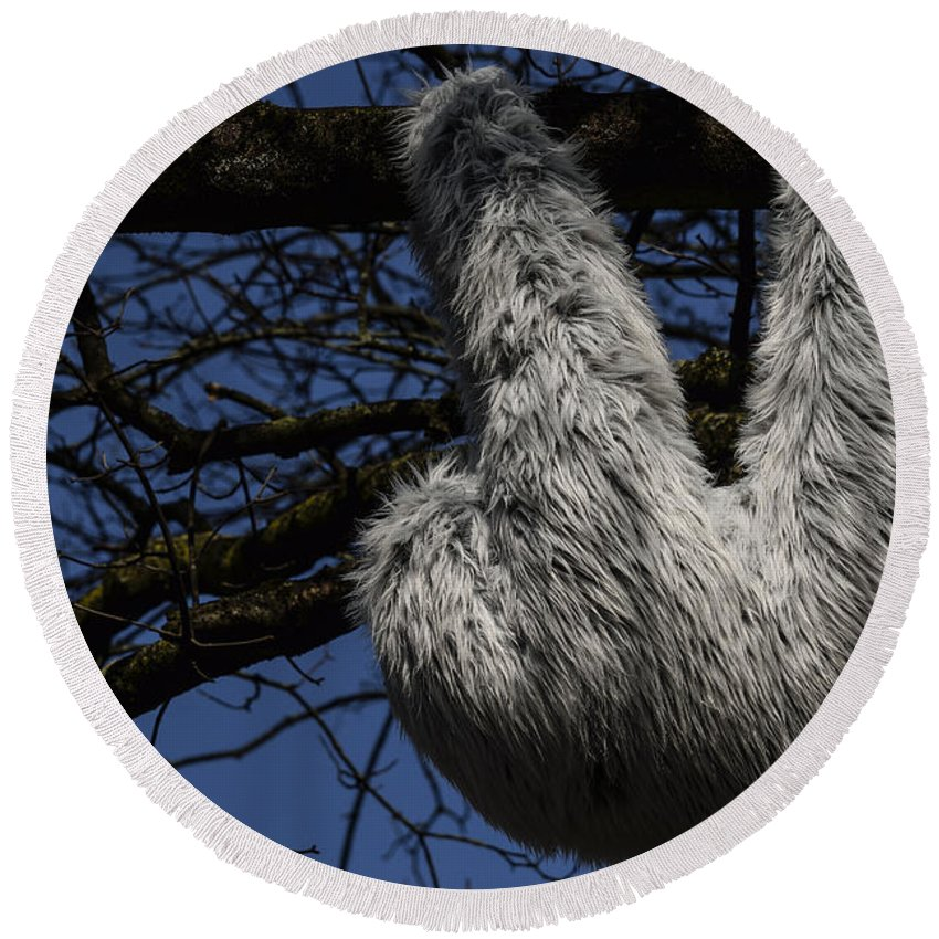 2015 Round Beach Towel featuring the photograph Tree Decorated With Apes by TouTouke A Y