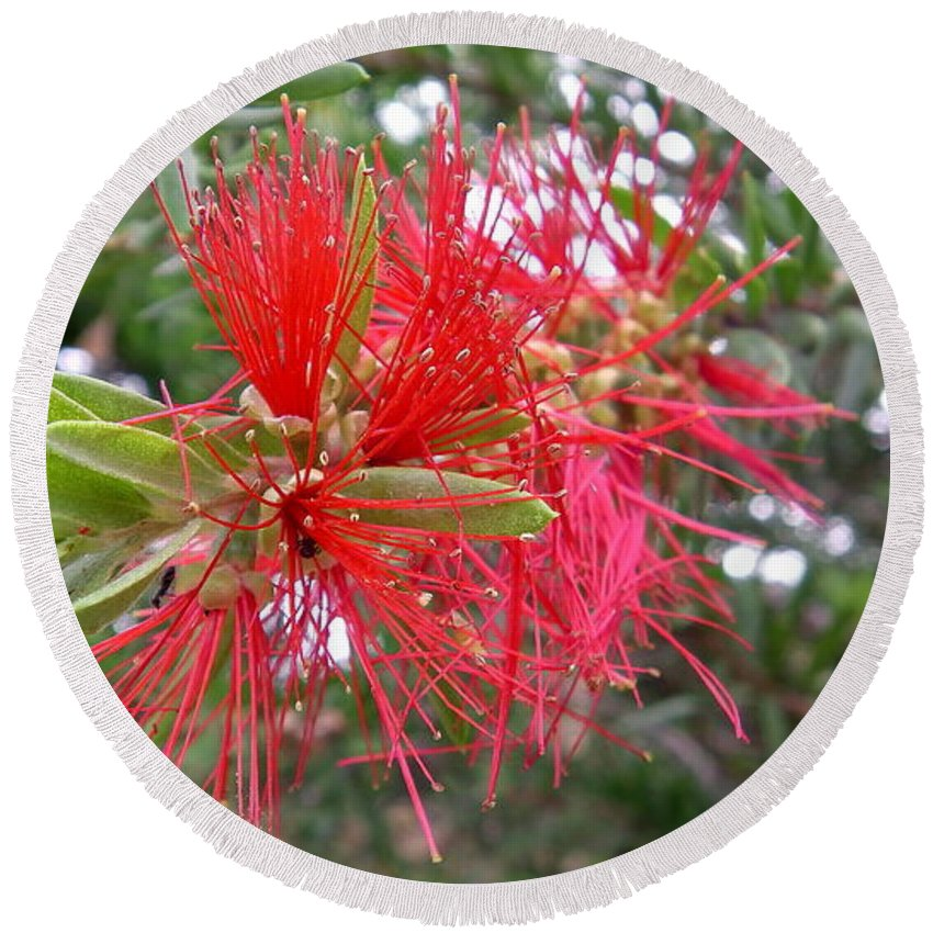 Australia Red Spike Flower Of The Callistemon Citrinus Also Known As A Bottle Brush Round Beach Towel featuring the photograph Australia - Red Flower Of The Callistemon by Jeffrey Shaw