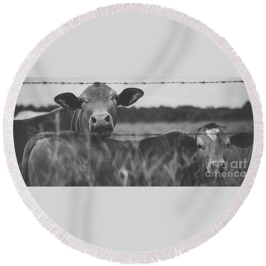 Cattle Round Beach Towel featuring the photograph Australian Cows by Rob D